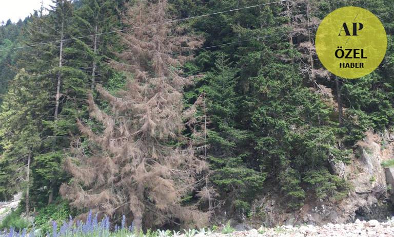 Ladin Ormanları Kuruyor